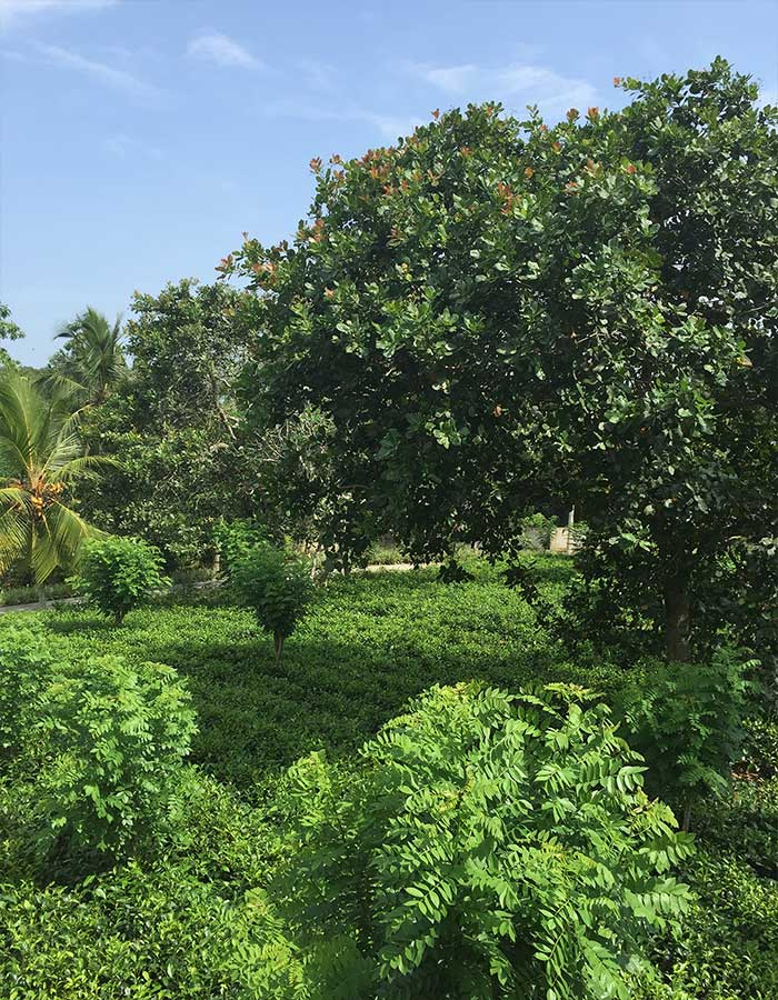 Tea plantation, cashew nut tree