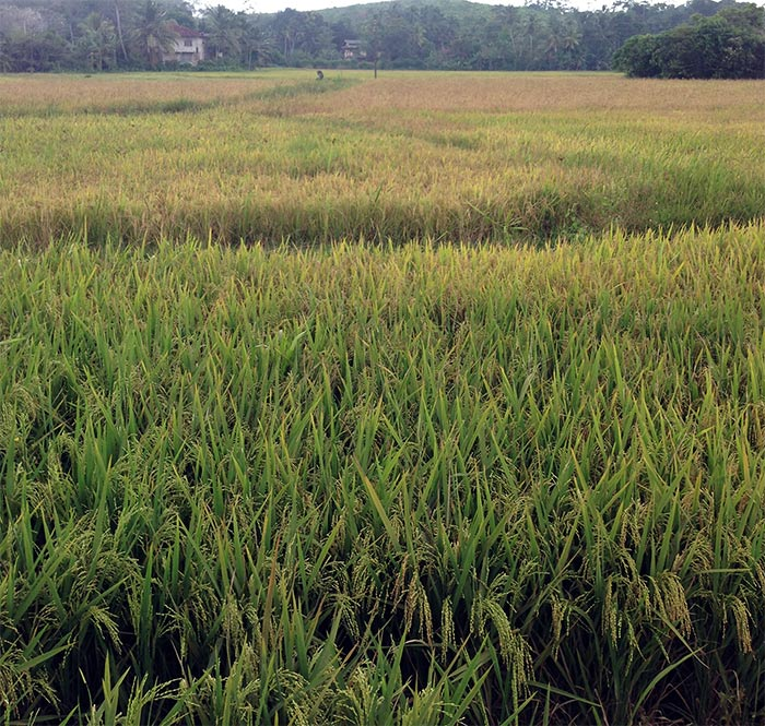 Rice, rice paddy